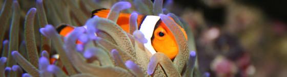 clownfish.jpg