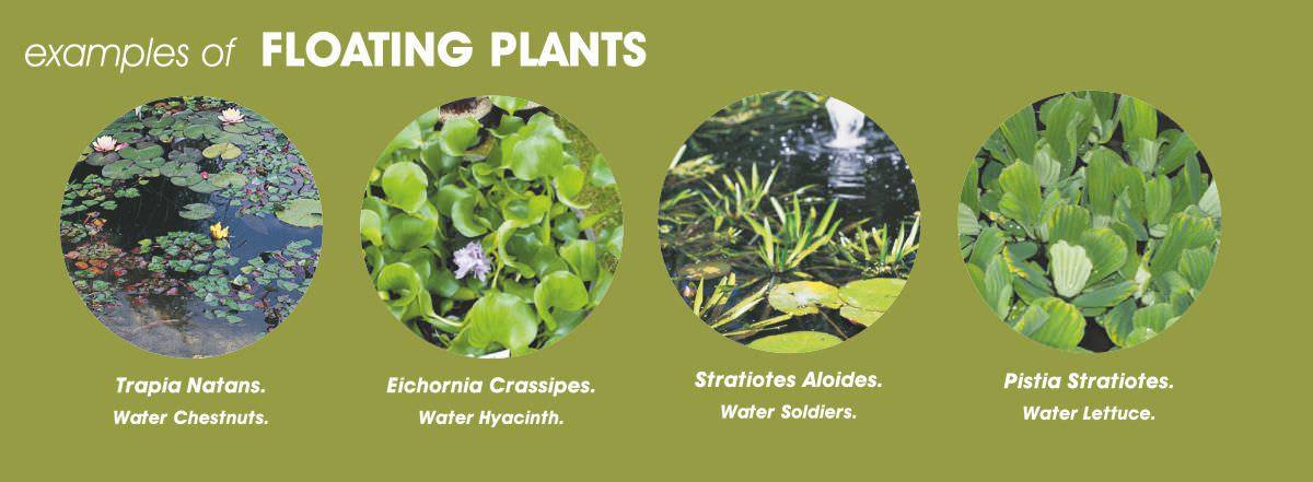 Floating pond plants for Native aquatic plants for sale