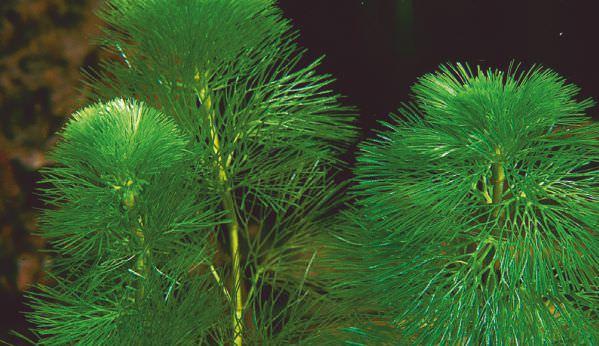 green-cabomba.jpg