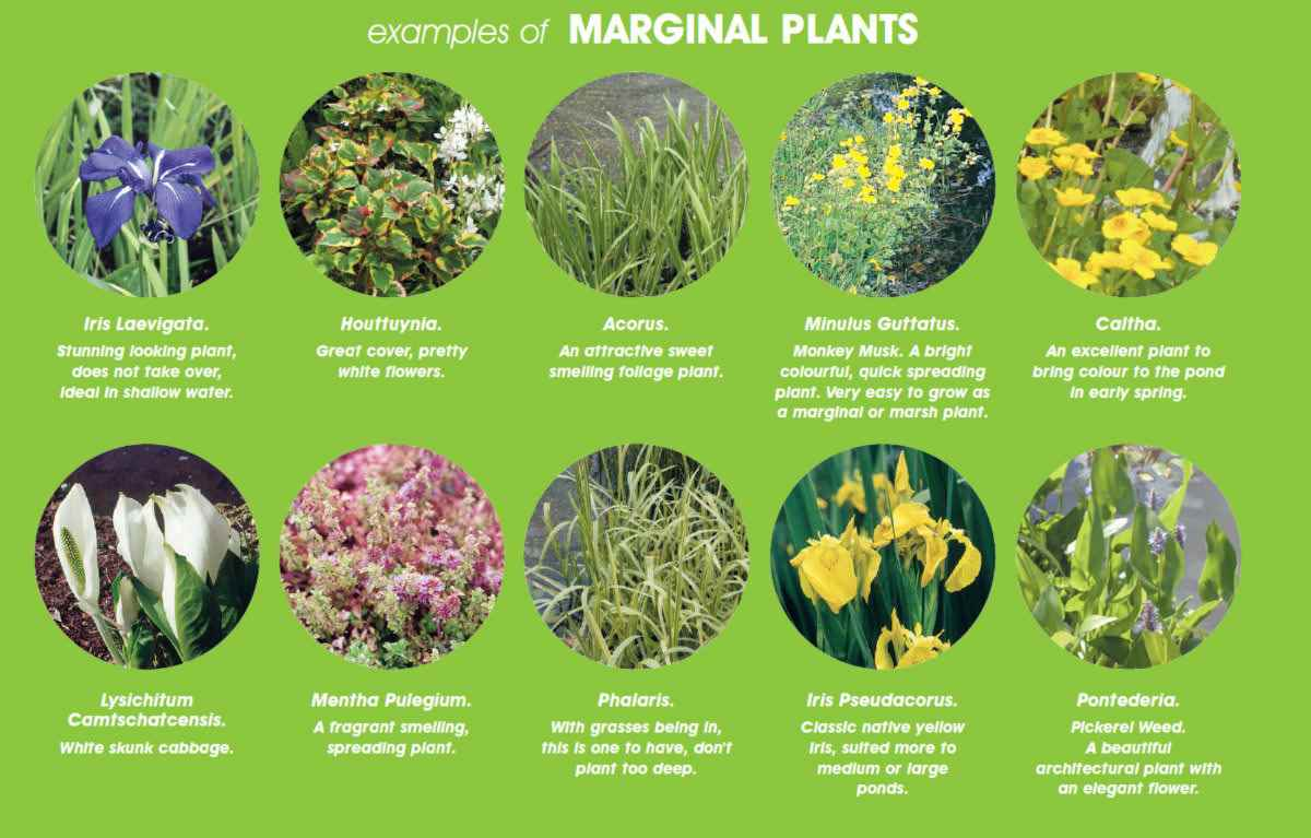 Marginal pond plants for Marginal pond plants