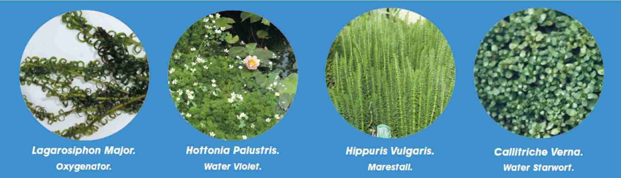 Oxygenating pond plants for Oxygenating plants for a small pond