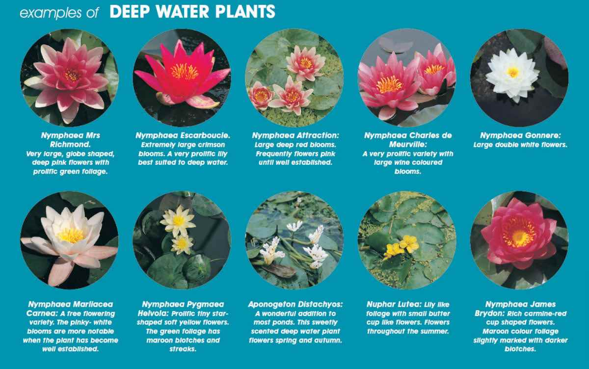 Water Lilies Deep Water Plants Zone 4